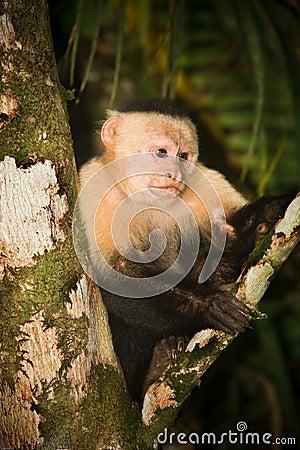 White face Capuchin Monkey.