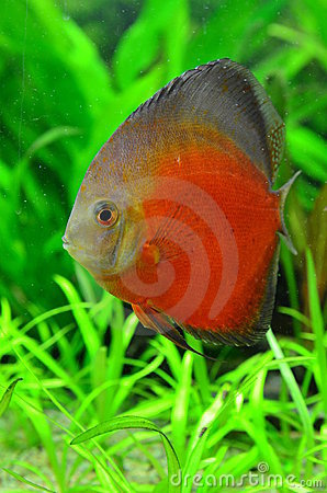 White face melon discus fish
