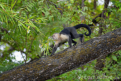 White Faced Capuchin Royalty Free Stock Photo - Image: 22252975
