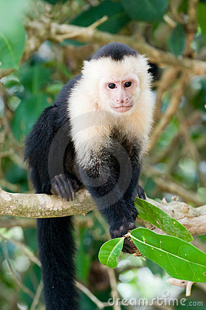Free White Faced Capuchin Monkey Stock Photo - 14039690