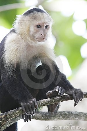 Free White-Faced Capuchin Monkey Royalty Free Stock Photography - 5846177