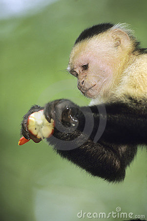 White-faced Capuchin Monkey, Costa Rica