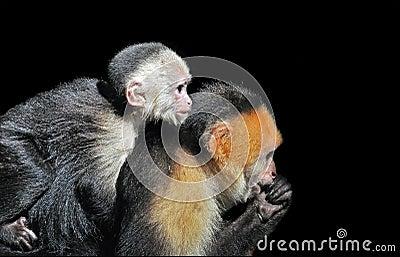 White-faced Capuchin monkeys