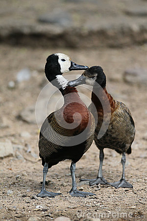 White Faced Ducks
