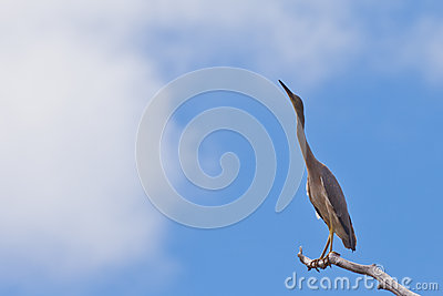 White-faced heron Ardea novaehollandiae high up