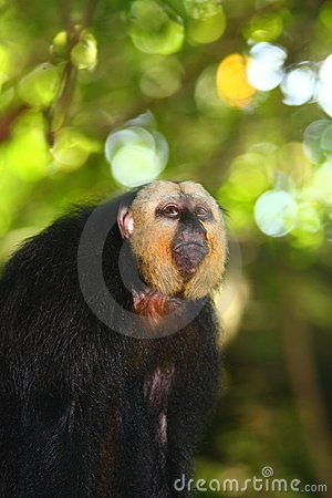 Free White-faced Saki Monkey Stock Photos - 14120483