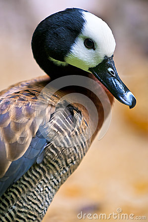 Free White-faced Whistling Duck Royalty Free Stock Images - 27678479