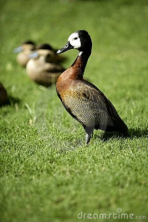 Free White Faced Whistling Duck From Madagascar Stock Photos - 7453113