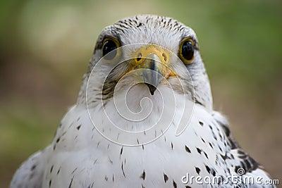 White Falcon Bird Stock Photo - Image: 14359910