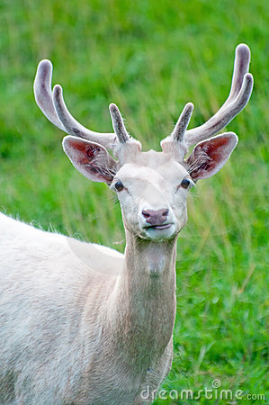 Free White Fallow Deer Stock Photo - 21012630