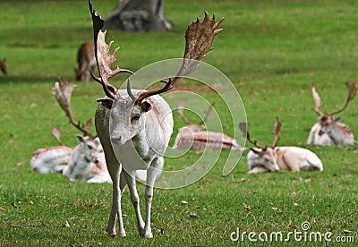 White Fallow deer.(Dama dama)