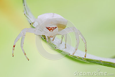 White and fat spider