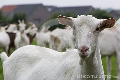 White female goat