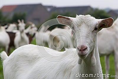 White female goat