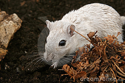 White female rodent outdoors