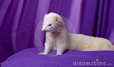 DPFD - Dramione Family - A hole new Dramione World - Page 8 White-ferret-named-silver-thumb9348765