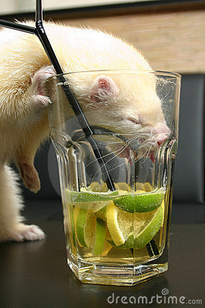 Free White Ferret With Drink Royalty Free Stock Images - 1764079