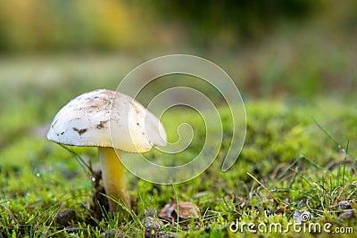 White Fibrecap