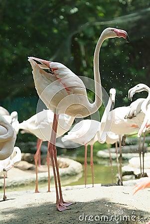 Free White Flamingo Standing Stock Photos - 3009193