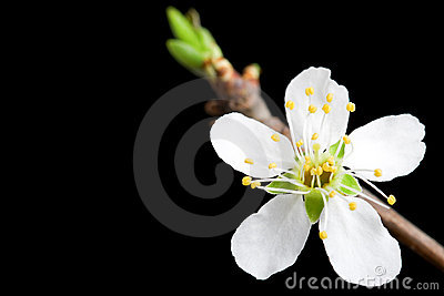 White flower of the apple tree