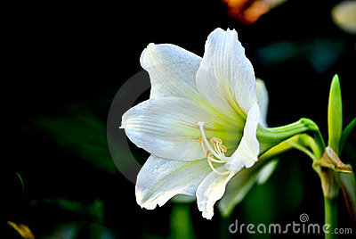White Flower Belong to the Lilly Family