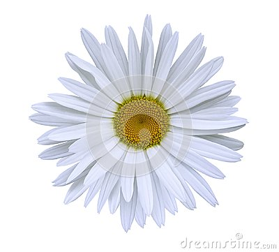 Free White  Flower Chamomile On A White Isolated Background With Clipping Path.  Closeup No Shadows. Garden  Flower. Royalty Free Stock Images - 108558299