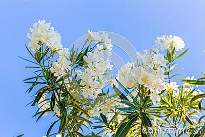 White flower in Kavros village, Crete Stock Photo