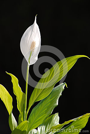 White flower, member of the lily family