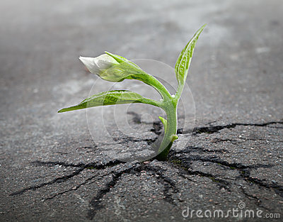 White flower sprout grows through asphalt