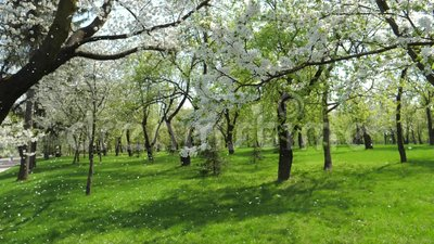 White Flowering Apple Trees In Spring In The Garden Slowly Falling Petals. Numerous beautiful blossoming Apple trees with white flowers in the garden in spring stock video