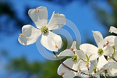 White Flowering Dogwood on Blue