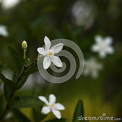 Free White Flowers Stock Photos - 5502553