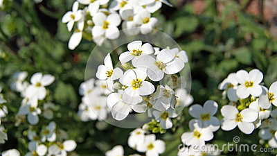 White flowers (Arabis alpina caucasica)