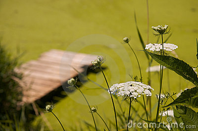 White flowers with dock