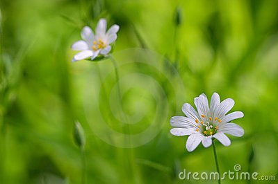 White flowers on green grass