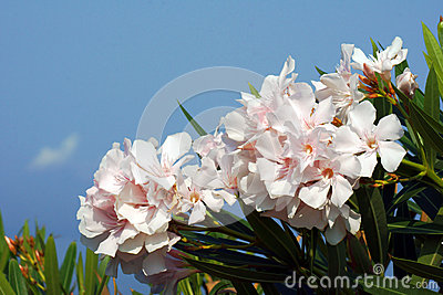 White flowers of nerium oleander