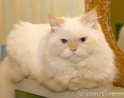 White, Fluffy Cat