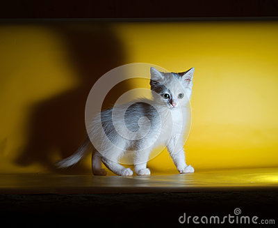 White fluffy kitten is on yellow