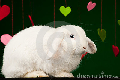 White fluffy rabbit with valentines