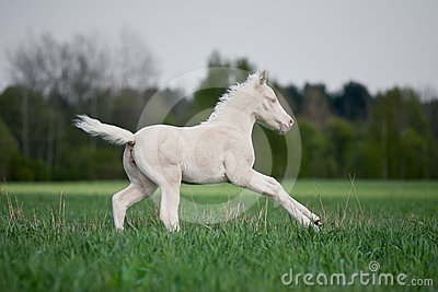 White foal gallops in field