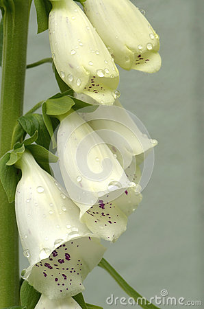 White Foxgloves