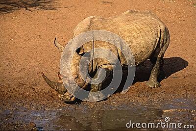 White för africa noshörning söder