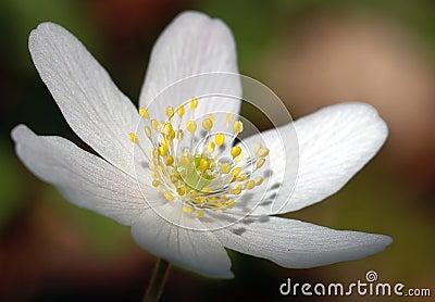 White för blomma ii