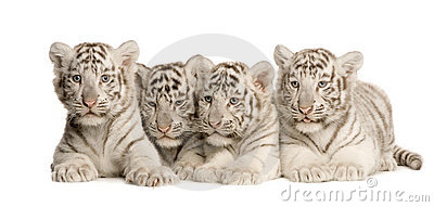 White för tiger för 2 gröngölingmånader