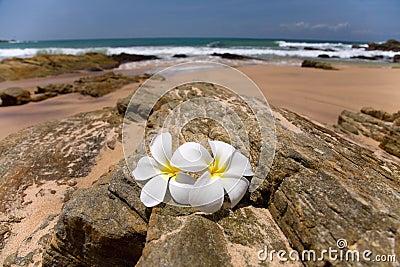 White frangipani (plumeria) spa flowers