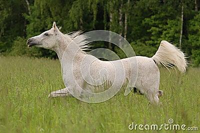 White free arabian horse in summer field