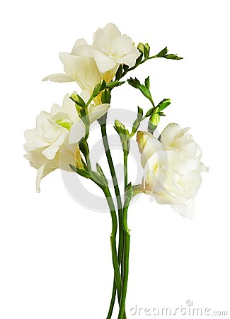 Free White Freesia Flowers And Buds Stock Photos - 110375083