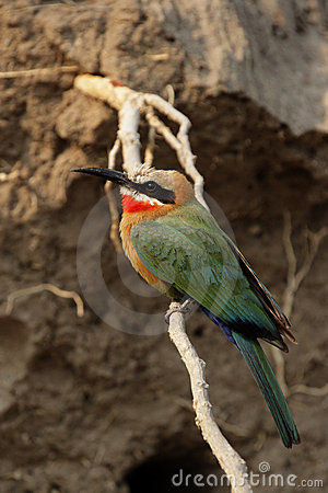 Free White-fronted Bee-eater Royalty Free Stock Image - 6989476