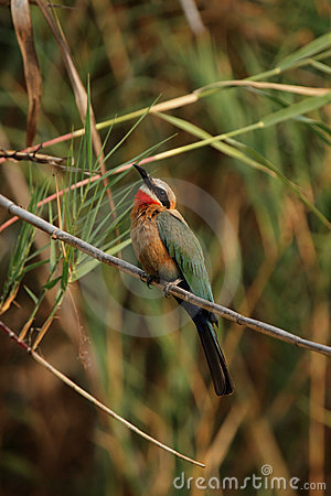Free White-fronted Bee-eater Stock Images - 7077144