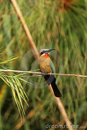 Free White-fronted Bee-eater Stock Photo - 7473100
